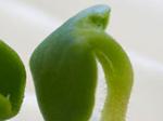 Оригинальные семена арбуза