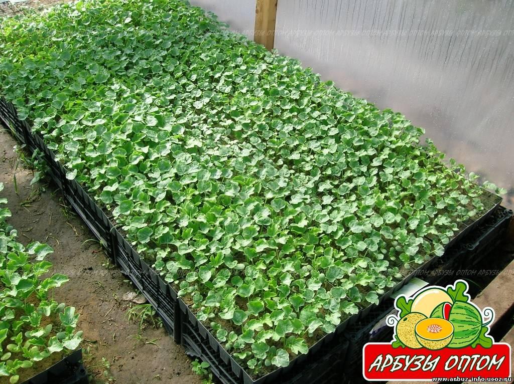 Выращивали рассаду арбуза 56